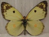 Butterfly Cut Out XO2 - Yellow